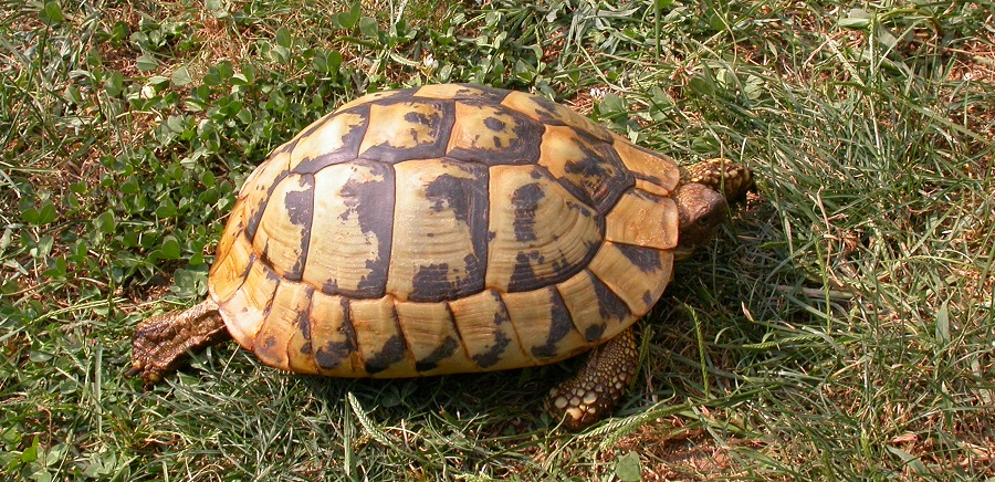 tartarughe rapporto maschi femmine